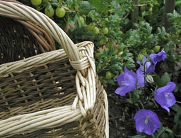 basket with Campanula flowers